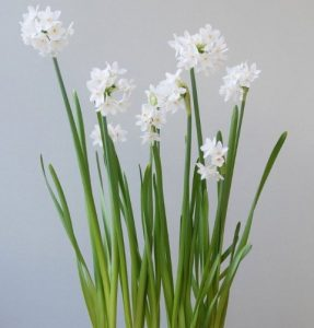 Beautiful fragrant Paperwhites - ideal for planting in fibreglass planters for Christmas